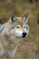 Gray Wolf (Canis lupus)..Adult male. Autumn. Rocky Mountains..
