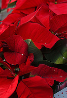 Stella di Natale. Poinsettia.....