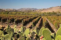 United States of America, California, Santa Barbara County, Santa Ynez: Santa Ynez Valley vineyard | Vereinigte Staaten von Amerika, Kalifornien, Santa Barbara County, Santa Ynez: Weinberge im Santa Ynez Valley