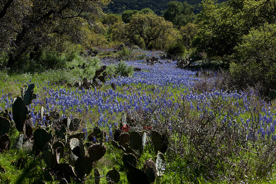 Meadow of Texas Bluebonnets in Burnet, Texas Hill Country