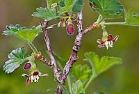 Stachelbeere, Blüten, Wilde Stachel-Beere, Ribes uva-crispa, Gooseberry, Groseillier à maquereau
