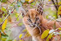 Young Caracal Kitten (Caracal caracal).  Caracals are found in Africa to Central Asia and India.
