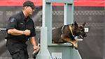 Vancouver, Canada, Aug 6th 2009. World Police and Fire Games, Police Service Dog Competition.  Derrick Gibson of the Vancouver Police Department encourages his dog Teak, a four-year-old German Shepherd, as Teak jumps through an obstacle meant to simulate a window during the Agility portion of the competition.  Derrick and Teak went on to take third place in the Overall competition that day as well as first in the Agility and second in the Protection portions of the competition.  Photo by Gus Curtis.