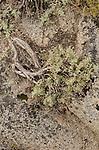 Big sagebrush (Artemisia tridentata) and granite, Toiyabe National Forest, California