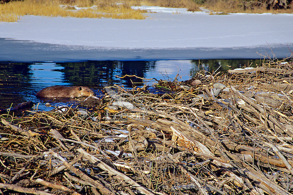 North American Beaver (Castor canadensis)  working on dam. November.  Western U.S.