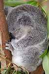 Kuranda, Queensland, Australia; Kuranda Koala Gardens, Koala (Phascolarctos cinereus) , © Matthew Meier, matthewmeierphoto.com All Rights Reserved