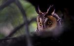 long-eared owl (Asio otus), Washington