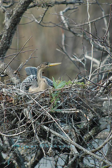 Female Anhinga Nesting