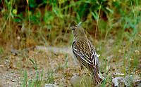 Ortolan, Weibchen, Gartenammer, Emberiza hortulana, ortolan bunting, female, Le Bruant ortolan