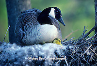 00748-01319 Canada goose (Branta canadensis) sitting on nest with newly hatched goslings   <br /> IL