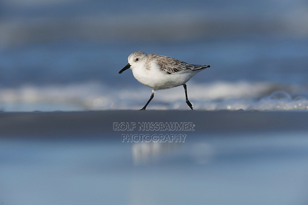 Sanderling (Calidris alba), adult running summer plumage, Port Aransas, Mustang Island, Texas Coast, USA