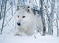 Wolf running in snow