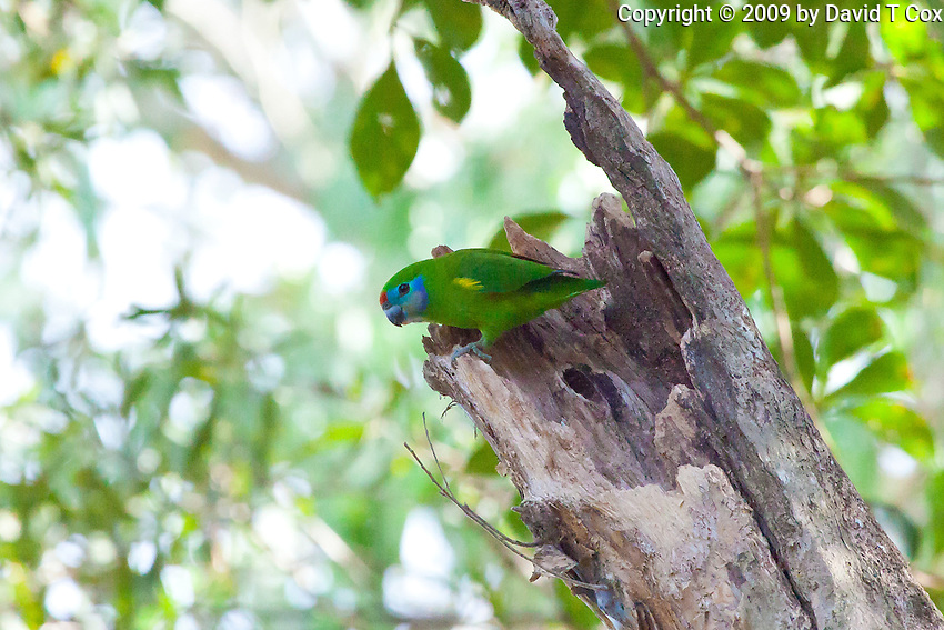 Double-Eyed Fig-Parrot female, race macleayana, Cairnes, Queensland, Australia