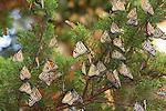 Monarch butterflies on cypress