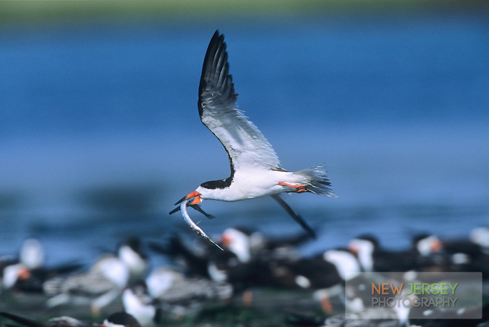 Black Skimmer, flying with an eel fish in it's bill, Stone Harbor, New Jersey
