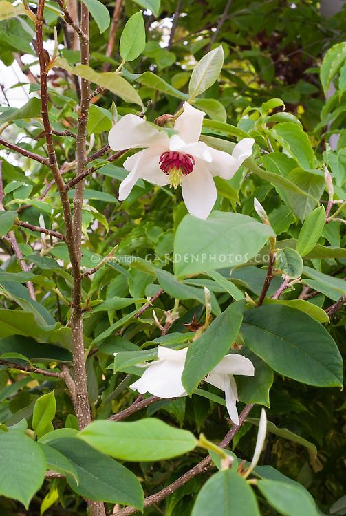 Wilson's magnolia tree Magnolia wilsonii in flower in spring