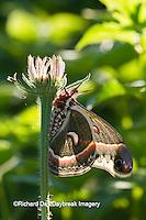 04013-00110 Cecropia Moth (Hyalophora cecropia) in flower garden, Marion Co., IL