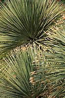 Europe/Provence-Alpes-Côte d'Azur/83/Var/Bormes-les-Mimosas: La Traverse des Troubadours - Détail flore: Glaucophyllum (famille: Agavacae)