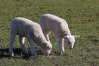 Hausschaf, Haus-Schaf, Schaf, Lamm, Lämmer, Tierkind, Tierbaby, Ovis ammon f. aries