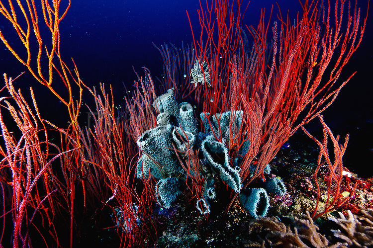 Leptogorgia virgulata; colourful sea whip with tube sponges