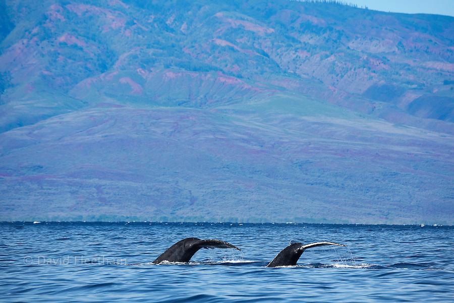 Two tails of humpback whales, Megaptera novaeangliae, off the coast of Lanai, Hawaii.