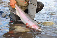 A steelhead trout from near the Skeena river in British Columbia.