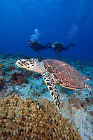 Hawksbill turtle, Eretmochelys imbricata, (endangered species) and divers (MR), Palau, Micronesia.