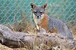 1178 Channel Island Fox - CA