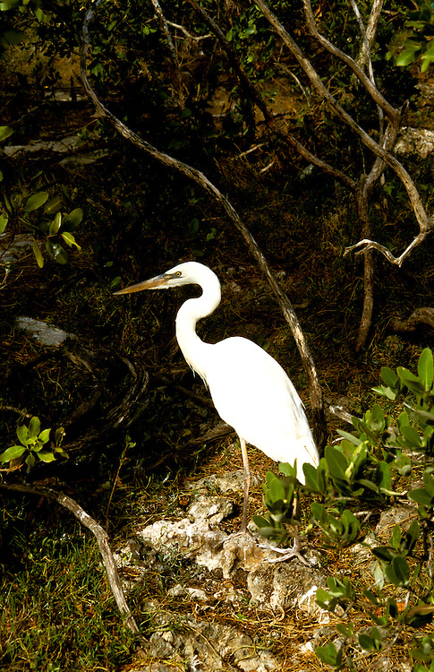 Florida: Florida Keys, bird, great egret.  Photo: flkeys104.Photo copyright Lee Foster, 510/549-2202, lee@fostertravel.com, www.fostertravel.com