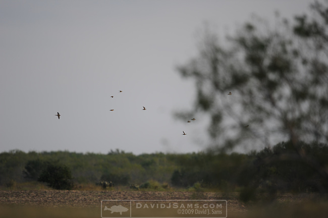 DOVE HUNT.Hunting in South Texas near Pleasanton TX. The Morris Place..
