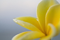 Close up of yellow and white plumeria flower with dew on the petals