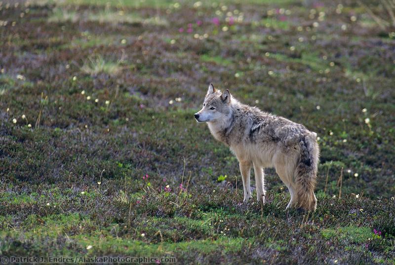Gray wolf stands on the summer tundra, Denali National Park, Alaska
