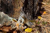 Yellow-pine chipmunk (Tamias amoenus)