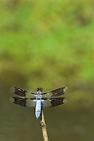 Common Whitetail (Libellula lydia) dragonfly perched on stick.  Pacific Northwest.  Summer.