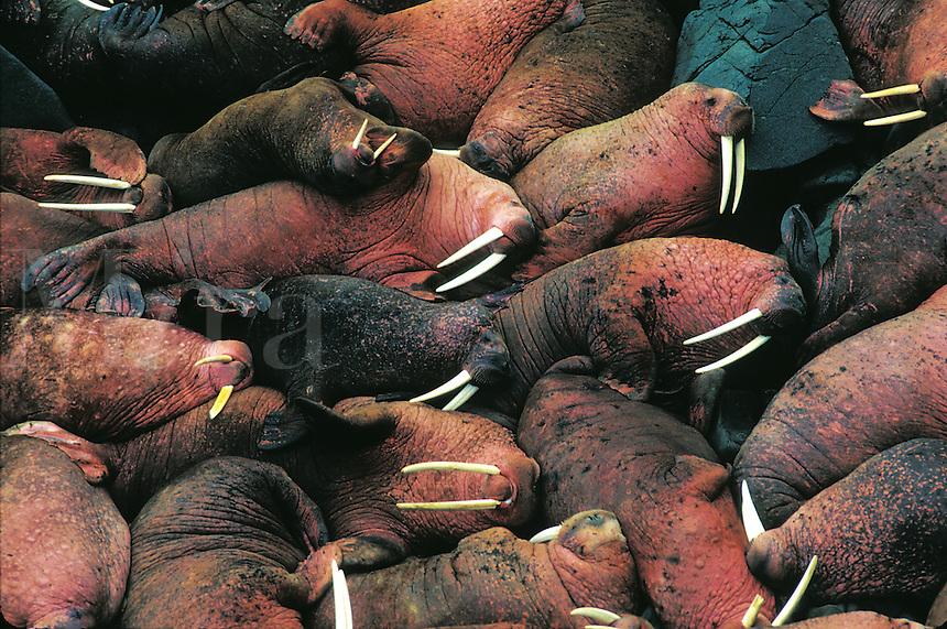 Overview of a group of huddled walruses. Alaska.