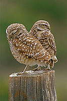 Burrowing Owls on old post,Washington State