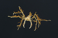 Long-legged Spider Crab - Macropodia rostrata