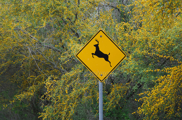 Deer sign and blooming Huisache trees (Acacia farnesiana), Choke Canyon SP, Live Oak County, Texas, USA, March 2007