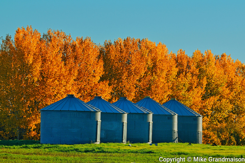 Grain bins and shelterbelt trees in autumn colors<br /> near Moose Jaw<br /> Saskatchewan<br /> Canada