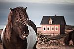 Horse portrait in Hvassahraun, south-west Iceland