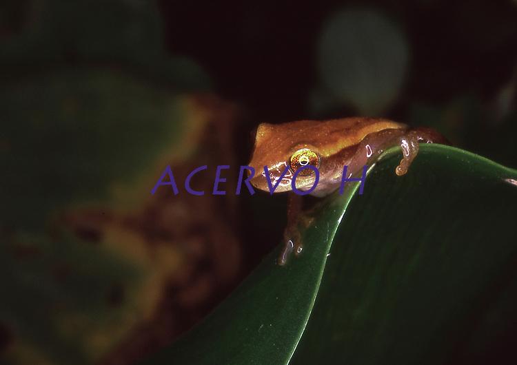Esp&eacute;cimes de anf&iacute;bios encontradas <br /> Rio Purus.<br /> Primeira expedi&ccedil;&atilde;o cient&iacute;fica para cria&ccedil;&atilde;o da RDS Piaga&ccedil;u Purus subindo o rio at&eacute; a Boca do Abufari.<br /> Amazonas, Brasil.<br /> Foto Paulo Santos<br /> 06/2001