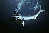 Diver attacked by Blue Shark (Prionace glauca), California (USA) - Pacific Ocean