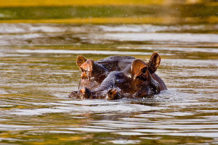 Hippopotamuses (hippos) in a lake, Camp Jabulani, Kapama Private Game Reserve, near Kruger National Park, South Africa