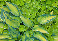 Vashon Island, WA<br /> Varigated hosta  surrounded by redwood sorrel (Oxalis oregana)