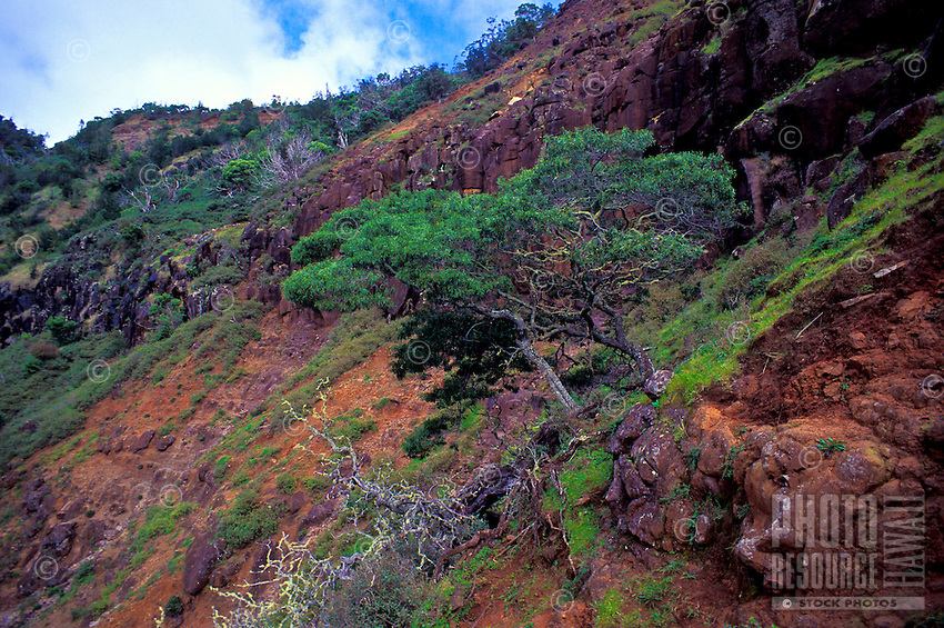 Koaie tree (Acacia koaia) growing on the rim of Waimea Canyon. It's dense wood was valued by ancient Hawaiians for making canoe paddles.