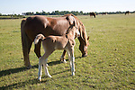 The Suffolk Punch Trust breeding colony, Hollesley, Suffolk, England