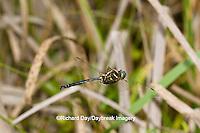 06544-00407 Hine's Emerald dragonfly (Somatochlora hineana) male in flight patrolling in Barton Fen, Reynolds Co., MO