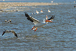 White pelican taking off at the Salton Sea