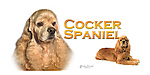 Cocker Spaniel, head study with a full length This design is offered on gift merchandise ONLY.<br />