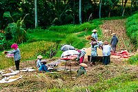 Bali, Gianyar, Bedulu. Rice harvest. Only women shall do this job for good luck.